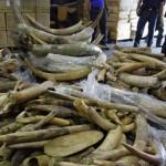 Mal año para elefantes y rinocerontes: se multiplicó el tráfico de marfil