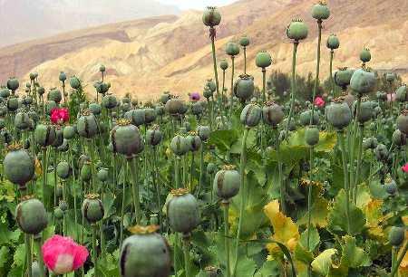 Plantación de opio en Afghanistán