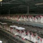 Temperatura elevada mató un cuarto millón de pollos: subirá el precio
