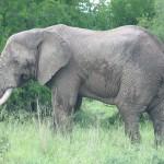 La evolución necesita 24 millones de generaciones para que un ratón llegue a un elefante