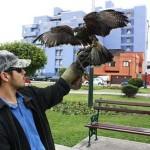 Montevideo apela a gavilanes para combatir plaga de palomas