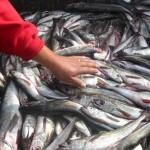 Exportaciones de la pesca aumentaron 20% en volúmen y 22% en valor (2011)