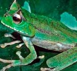Zoólogos hallan ranas que violan normas evolutivas y vuelven a tener dientes