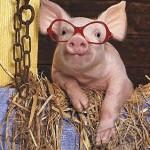 """Municipio de Kiev contrató """"un cerdo vidente que sabe los secretos del fútbol"""" para la Eurocopa"""