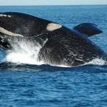 Vigilia por las ballenas: Uruguay participa en la Comisión que creará el Santuario del Atlántico Sur