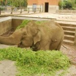 Uruguay se quedó sin su único y último elefante en cautiverio tras la muerte de Yothi, de 62 años, en el zoo de Villa Dolores