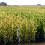 La siembra de arroz 2012-2013 mantendrá la actual superficie plantada