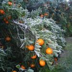 El citrus y las heladas