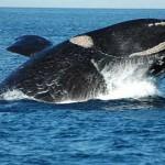 Uruguay busca crear santuario mundial de ballenas y delfines en sus aguas juridiccionales