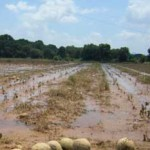 Exceso de agua en campos baja 10% remisión de leche; trigo también afectado