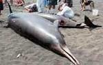 Fotografían por primera vez la ballena más desconocida de la fauna marina