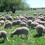Exportaciones ovinas en pie aumentaron 149,3% en el último año