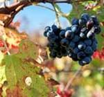 400 productores vitivinícolas afectados por temporal: fondos serán insuficientes