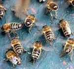 Comisión Europea: moratoria urgente de pesticidas que acaban con las abejas