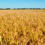 Déficit hídrico esta afectando esperadas cosechas récord de soja y maíz