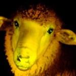Los primeros corderos transgénicos uruguayos son verdes y fluorescentes