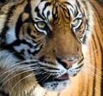 India: un tigre salvaje causa terror al entrar a un zoológico buscando aparearse