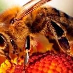 Un tercio de las colonias de abejas perecieron este año en los Estados Unidos