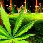 Denuncian a Monsanto tras campaña pro legalización de marihuana transgénica