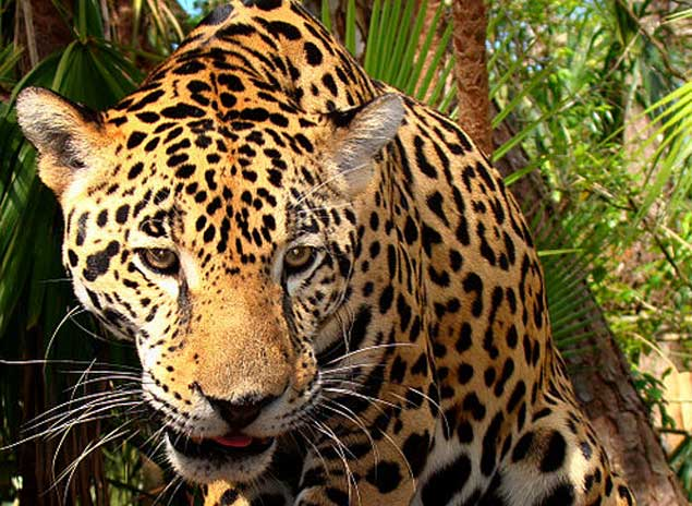 animals that start with the letter j brasil campa 241 a nacional evitar 225 desaparici 243 n jaguar 20458 | Jaguar 2