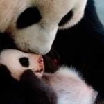 Panda gigante: nace hijo de Hua Zui Ba en el zoo de Madrid