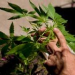 Junta Nacional de Drogas recibe propuestas internacionales para plantar cannabis