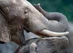 Anciano muere por trompazo de un elefante que había escapado de un circo