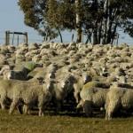 Mujica sólo ayudará a pequeños productores cuyas ovejas murieron por clima adverso