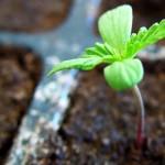 Uruguay importará semillas de marihuana para comenzar con la producción