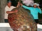 En río Paraná pescan raya de 155 quilos de las más grandes que se recuerde