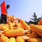 China rechaza y devuelve a Estados Unidos medio millón de toneladas de maiz transgénico
