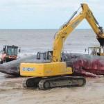 Trasladan restos de cachalote desde playa Carrasco hasta Usina N5 de IMM
