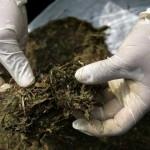 Uruguay a la búsqueda de una marihuana de mejor calidad y más barata que la ilegal