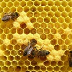 Recelo europeo anti transgénicos amenaza ingreso de miel uruguaya