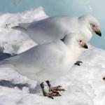 Científicos uruguayos analizan virus de influenza y de enfermedad de New Castle en aves silvestres de Antártida