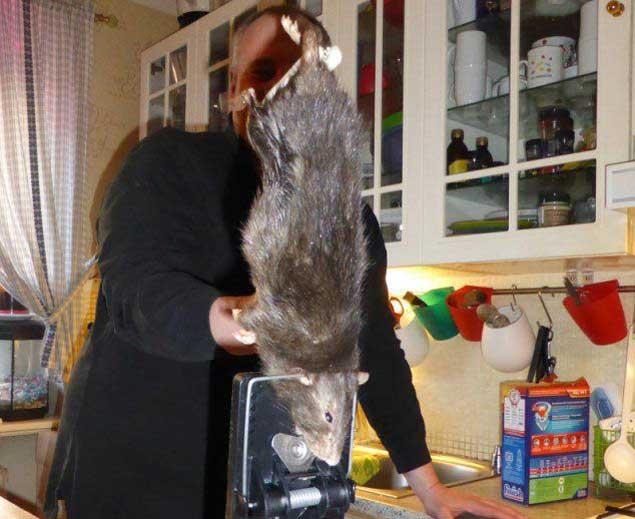 Rata mutante de medio metro atrapada en suecia tras - Trampas para cazar ratas ...