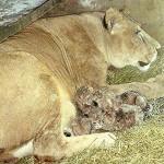 Nacieron cuatro leones en Salto, en 20 días podrán ser visitados por el público