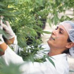 Laboratorios se interesan en producir píldoras, bálsamos y aceites de marihuana en Uruguay