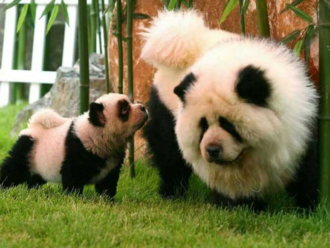 """Los """"pandogs"""" o """"perros panda"""" hacen furor en el mundo de las ..."""