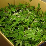 Estado de Washington comienza hoy venta de marihuana para fines recreativos