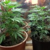 IRCCA comenzó el registro de interesados en cultivo domestico de marihuana