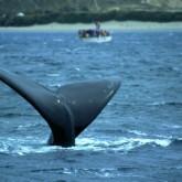 Se realizó novena edición del lanzamiento oficial de la temporada de ballenas