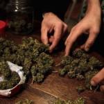 IRCCA realiza llamado a interesados para producir marihuana en predio del Estado
