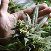 Instituto de Regulación y Control de Cannabis abre registro para autocultivadores