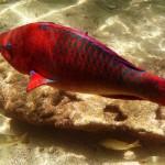 Descubren cómo los peces dejaron solo de nadar para hacerse animales terrestres
