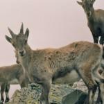 Las cabras alpinas y otros mamíferos ya reducen al mínimo su tamaño en reacción al cambio climático