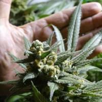 Izquierda Unida pide al Congreso de España votar legalización de la marihuana