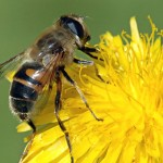 La misteriosa desaparición masiva de las abejas se complica con un nuevo factor exterminador