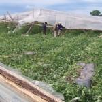 Temporales de viento y lluvia dejan pérdidas cuantiosas en la granja. Descartan aumento de precios