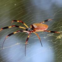 Japoneses implantan genes de araña en un gusano y logran seda mejor que la natural